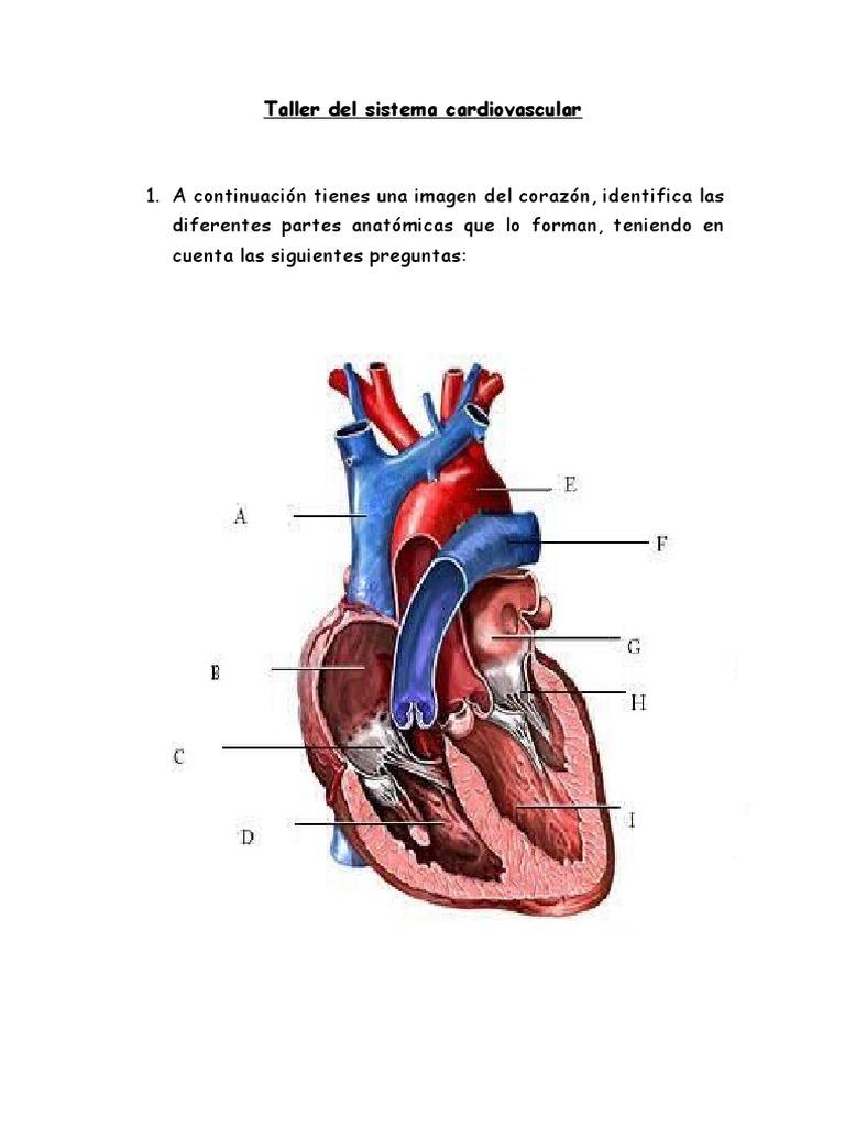 Atractivo Sistema Cardiovascular El Corazón Patrón - Imágenes de ...