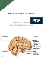 Disección de Cerebro y Cordón Espinal.pdf