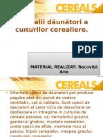 Daunatorii_cerealelor