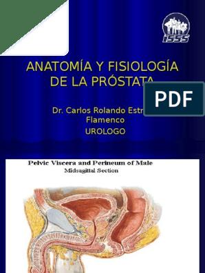 anatomía de la próstata pdf y