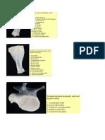 osteologia miembros canino