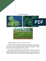 Desmanthus Pubescens Kiki