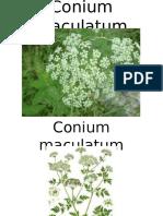 Conium Maculatum - Homoepathic Remedy