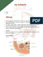 Brocatip- Sistema Urinario