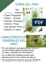 Taxonomia Del Pino