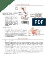 FISIOLOGÍA MUSCULAR básica