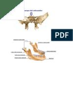 Anato huesos del craneo imagenes