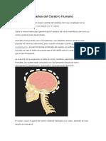 Funciones y Partes Del Cerebro Humano
