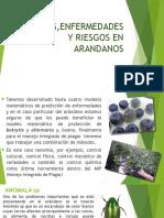 Plagas,Enfermedades yszdsa Riesgos en Arandanos