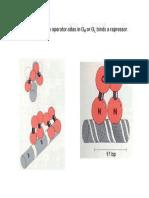 Ciclo Litico y Lisogenico PDF (Un Poco en Ingles)