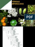 Astéridas. Campanulaceae-Adoxaceae