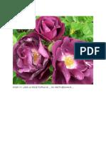 Rose Ungu Cantik