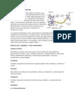 Neuronas y Su Funcion
