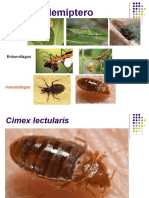Hemiptera-cimex+triatoma jpg