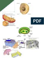Organelos de La Celula