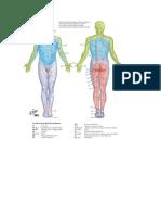 Peta Dermatom