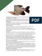 Tecnologia Del Cultivo de Las Cachamassistemas de Cultivo y Densidad de Siembra