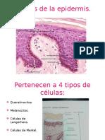 Celulas de La Epidermiz