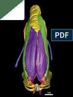 Male Syrinx 3D Morphome