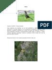 Aves de Quito - Mirlo