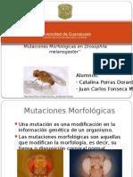 drosophilamelanogaster-131229034846-phpapp02