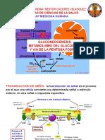 Gluconeogenesis Met Glucogeno y via Pentosas Fosfa
