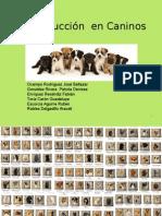 Reproduccion Caninos