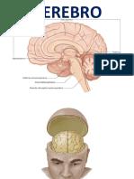 Clase 12 Cerebro - Cerebelo - Sist. Ventric. (1)