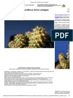 Turbinicarpus Roseiflorus Forma Variegata