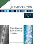 Microfilament Actin 1