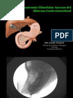 Glandulas Anexas sistema digestivo higado pancreas