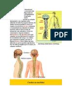 sistema-nervioso.docx
