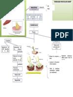Fisiopatologia Miastinia Gravis