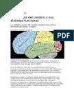 1 Neurociencias - Los Lóbulos Del Cerebro y Sus Distintas Funciones