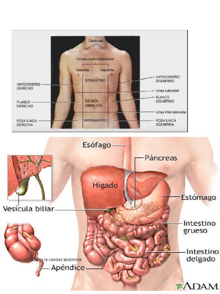 Excelente Anatomía Cavidad Abdominal Componente - Anatomía de Las ...