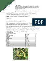 PAPAYA, PACAY.pdf