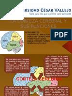 LA_CORTEZA_CEREBRAL_Y_SUS_FUNCIONES.pptx