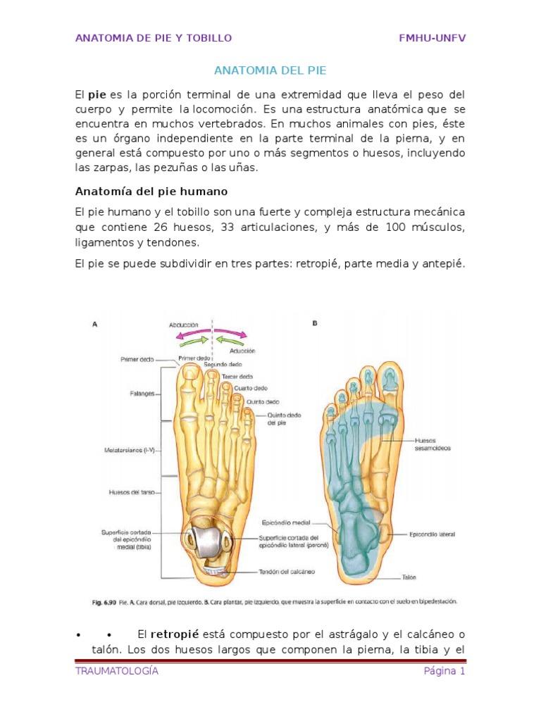 Dorable La Parte Superior De La Anatomía Del Pie Regalo - Imágenes ...