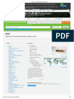 Tapinoma Melanocephalum (Ghost Ant)