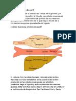 El Ciclo de Cori Tarea de Anatomia Y Fisiologia Humana 2