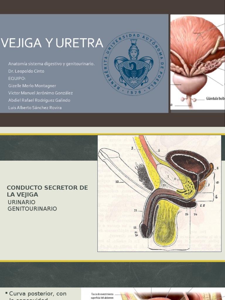Anatomía. Uretra Masculina y Femenina