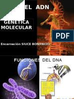 Funcion genética del ADN  y Mutación