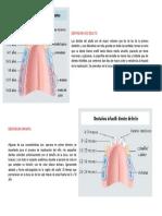 Dentadura de Adulto y de Leche