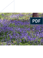 Bluebells & Campion Nr Leith Hill 2475