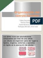 Organización Del Cuerpo Humanocuerpo humano