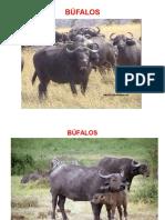 razas bufalas