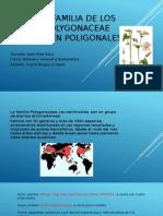 La Familia de Los Polygonaceae