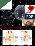Struktur Genitalia Maskulina Dan Peranan Hormon Reproduksi