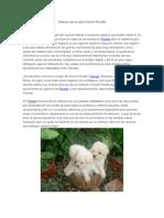 Historia de La Raza French Poodle