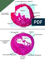 Dezvoltarea Embrionara La Amfibieni